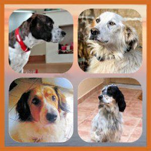 Homepage 01 Honden ter Adoptie 03c Golden Oldies